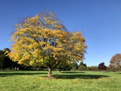 Autumn Tree In Meadow