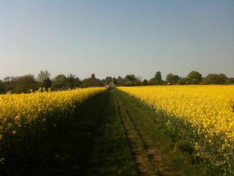 Field of Oil Seed Rape