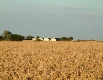Nissen Huts In Wheat Field