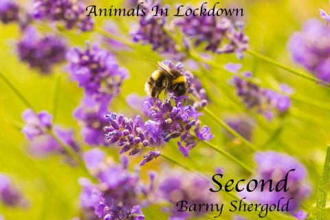 Barny Shergold - Bee In Lavender
