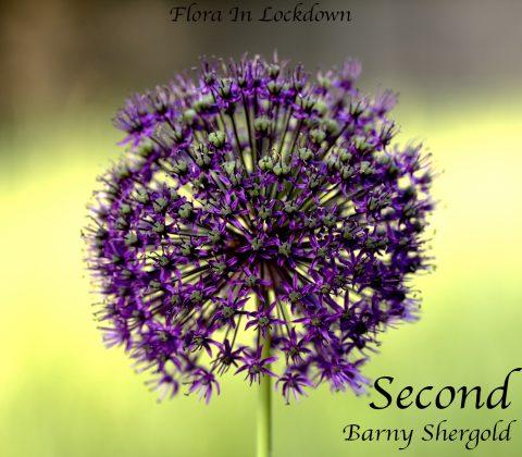 Barny Shergold - Purple Allium
