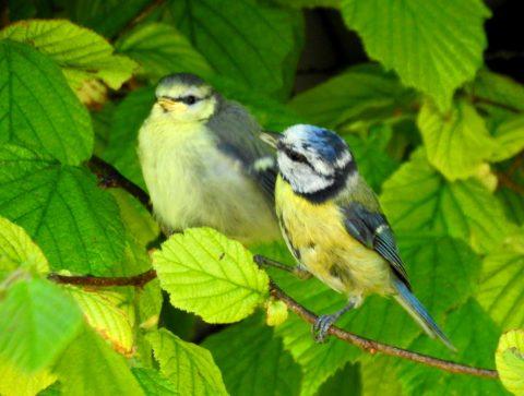 Blue tit family pair 29may20