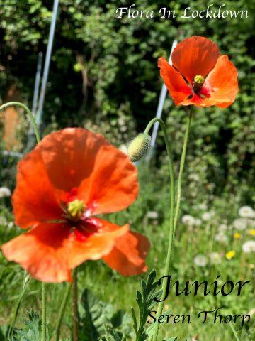 (CHILD) Seren Thorp - Poppies