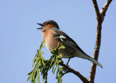 Chaffinch 07may20