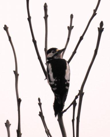 Great spotted woodpecker 17jan21