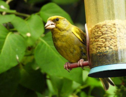 Greenfinch 06jul20