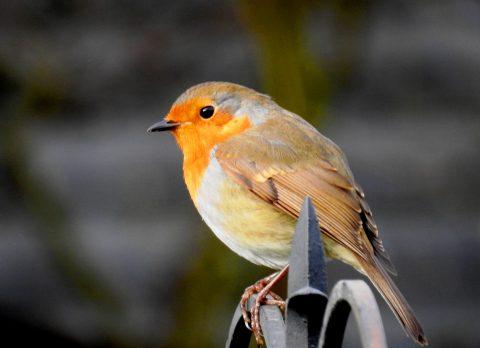 Robin 06feb21